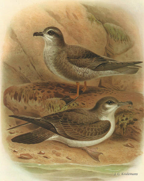 Mottled Wall Art - Painting - Mottled Petrel And Buller's Shearwater by Dreyer Wildlife Print Collections