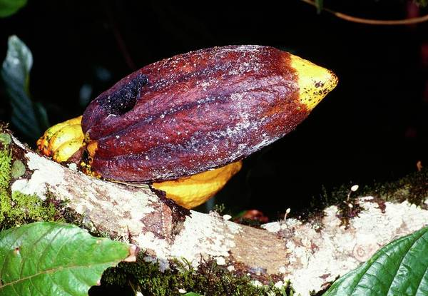 Wall Art - Photograph - Mould-damaged Cocoa Fruit by Jiri Loun/science Photo Library