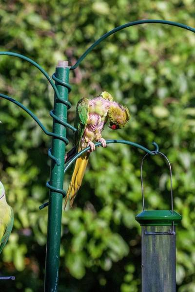 Parakeets Photograph - Moulting Ring-necked Parakeet On A Bird Feeder by Georgette Douwma/science Photo Library