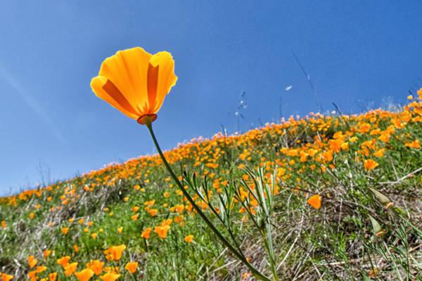 Photograph - Mount Diablo Poppy Field by Robert Rus