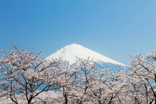 Branch Photograph - Mount Fuji & Cherry Blossom by Ooyoo