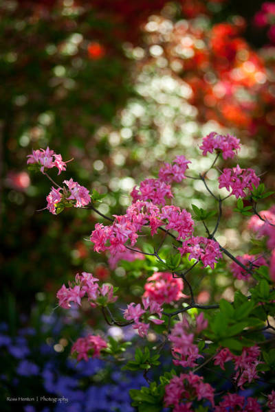 Photograph - Mount Vernon Flowers by Ross Henton