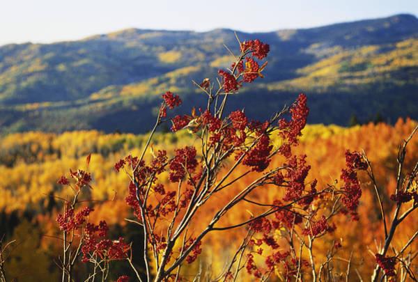 Rowan Photograph - Mountain Ash Berries, Colorado Landscape by James Steinberg