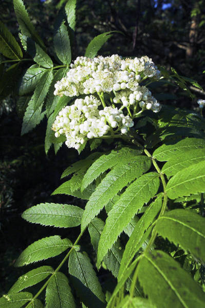 Rowan Photograph - Mountain Ash Blossom (sorbus Aucuparia) by Duncan Shaw/science Photo Library