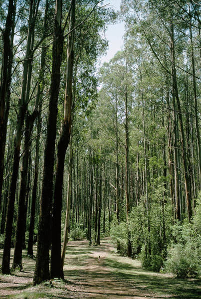 Eucalyptus Photograph - Mountain Ash Woodland by Dr Jeremy Burgess/science Photo Library