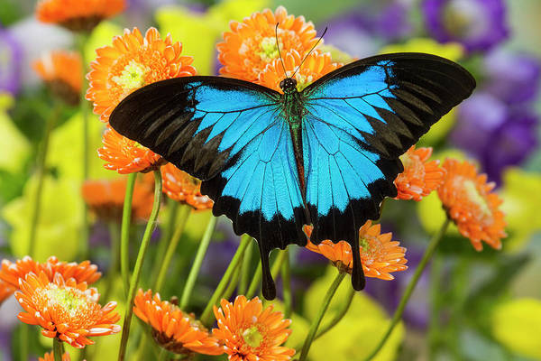 Wall Art - Photograph - Mountain Blue Butterfly by Darrell Gulin