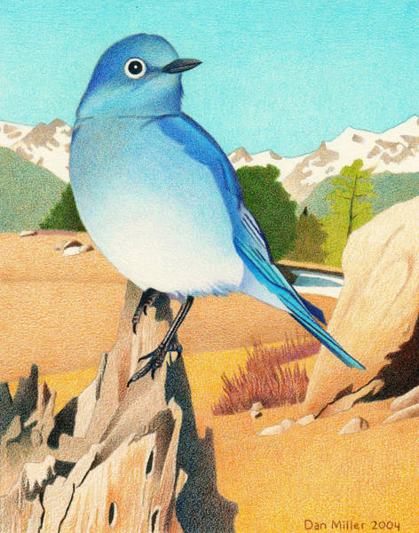 Evergreen Trees Drawing - Mountain Bluebird by Dan Miller