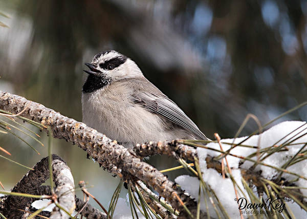 Wall Art - Photograph - Mountain Chickadee Sings by Dawn Key