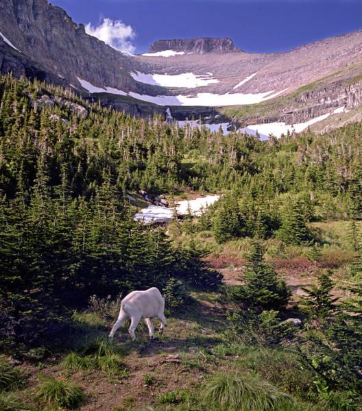 Photograph - Mountain Goat 5 by Lee Santa