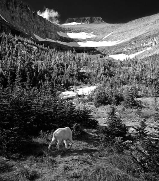 Photograph - Mountain Goat 6 by Lee Santa