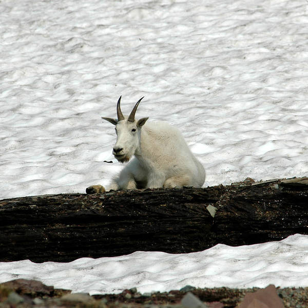 Photograph - Mountain Goat by David Armstrong