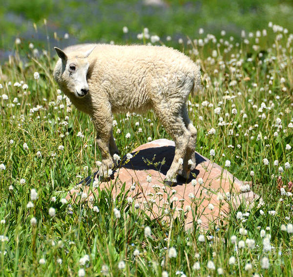 Goat Rocks Wilderness Wall Art - Photograph - Mountain Goat Kid Among Wildflowers by Gary Whitton