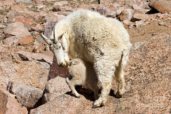 Photograph - Mountain Goat Kid At Lunch Time On Mount Evans by Fred Stearns