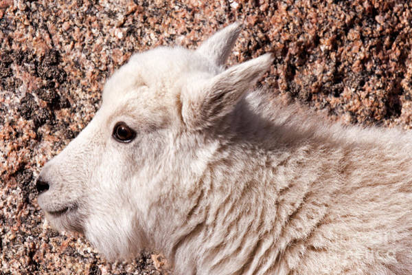 Photograph - Mountain Goat Kid Portrait On Mount Evans by Fred Stearns