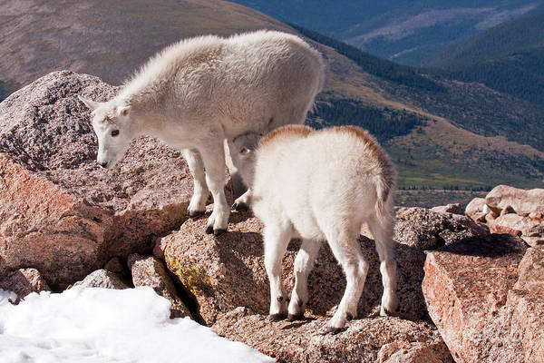 Photograph - Mountain Goat Kids Playing On Mount Evans by Fred Stearns