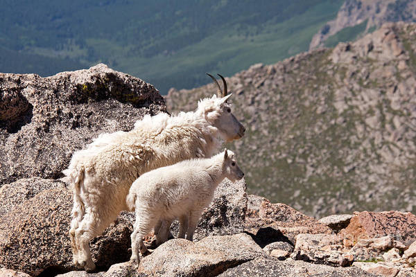 Photograph - Mountain Goat Nanny And Kid Enloying The View On Mount Evans by Fred Stearns
