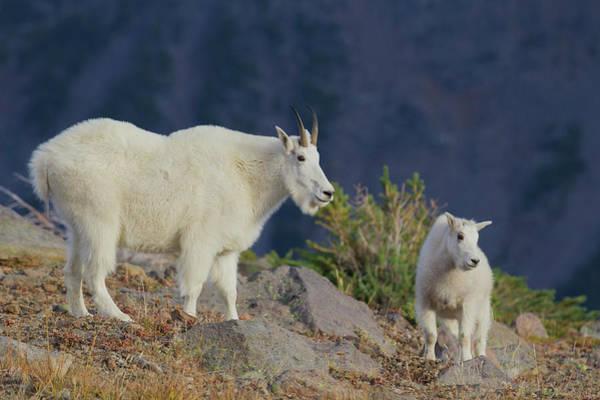 Ken Photograph - Mountain Goat, Nanny With Kid by Ken Archer