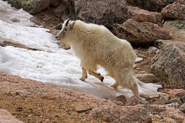 Photograph - Mountain Goat On Snowfield On Mount Evans by Fred Stearns