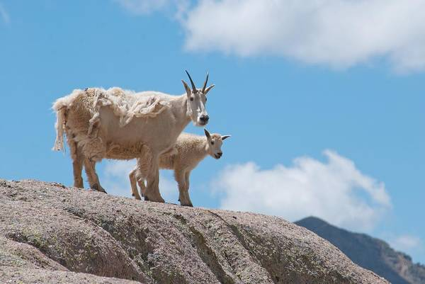 Photograph - Mountain Goat Parent And Kid by Cascade Colors