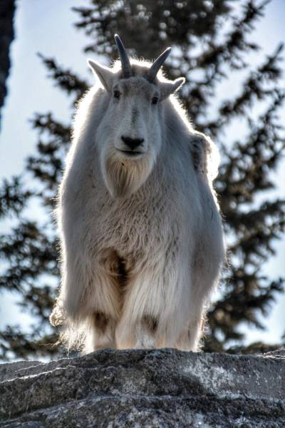 Photograph - Mountain Goat by Pat Moore
