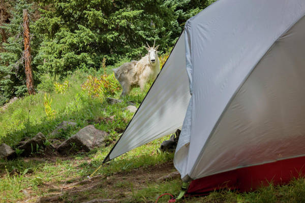 Urban Wildlife Photograph - Mountain Goat Standing Near The Tent by Taylor Reilly