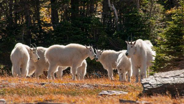 Photograph - Mountain Goats by Brenda Jacobs