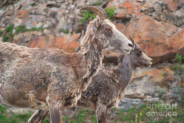 Photograph - Mountain Goats by Charles Kozierok