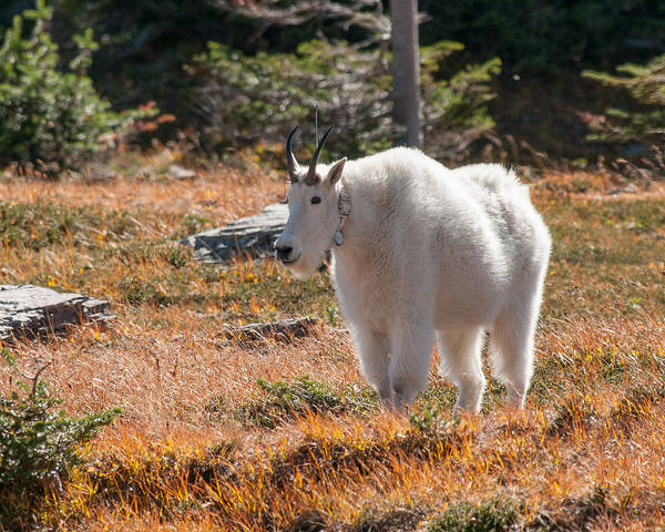 Photograph - Mountain Goats Of Glacier by Brenda Jacobs
