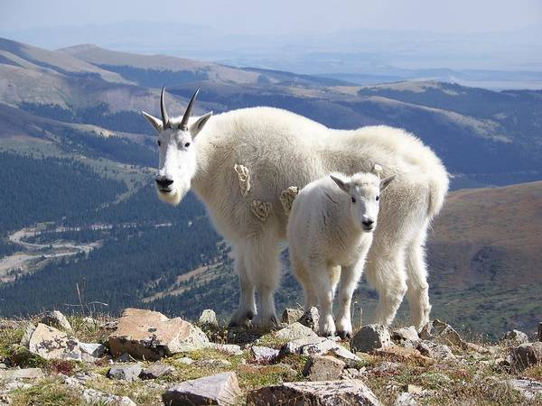 Photograph - Mountain Goats - Quandary Peak by Aaron Spong