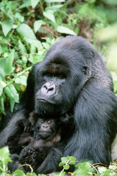 Wall Art - Photograph - Mountain Gorilla And Infant by Tony Camacho/science Photo Library