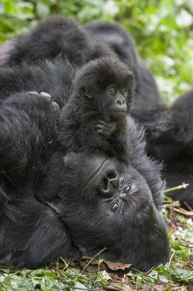 Equatorial Africa Wall Art - Photograph - Mountain Gorilla Baby Playing by Suzi  Eszterhas