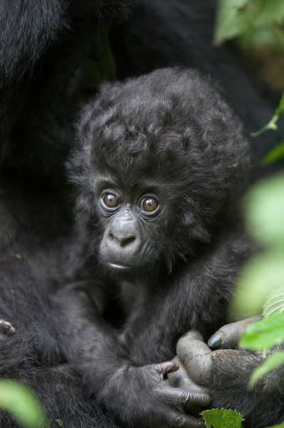 Photograph - Mountain Gorilla Infant by Suzi Eszterhas
