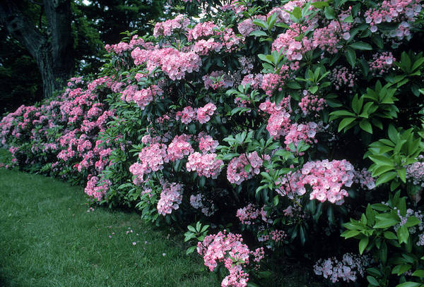 Kalmia Photograph - Mountain Laurel by Bonnie Sue Rauch