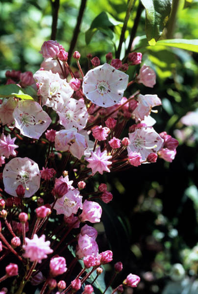 Laurel Photograph - Mountain Laurel Flowers by Adrian Thomas/science Photo Library