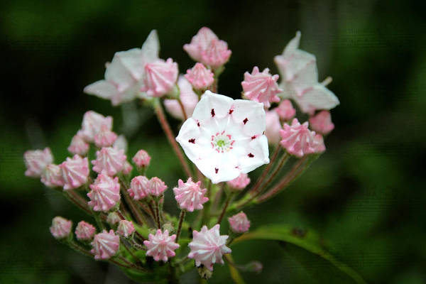 Photograph - Mountain Laurel Song by Jemmy Archer