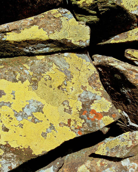 Wall Art - Photograph - Mountain Lichen by Martin Bond/science Photo Library