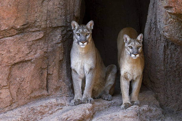 Photograph - Mountain Lion 2 by Arterra Picture Library