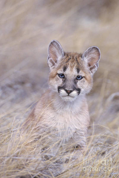Photograph - Mountain Lion Cub In Dry Grass by Dave Welling