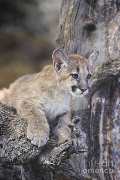 Photograph - Mountain Lion Cub On Tree Branch by Dave Welling