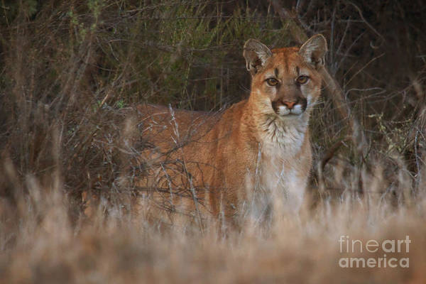 Photograph - Mountain Lion Encounter by Beth Sargent