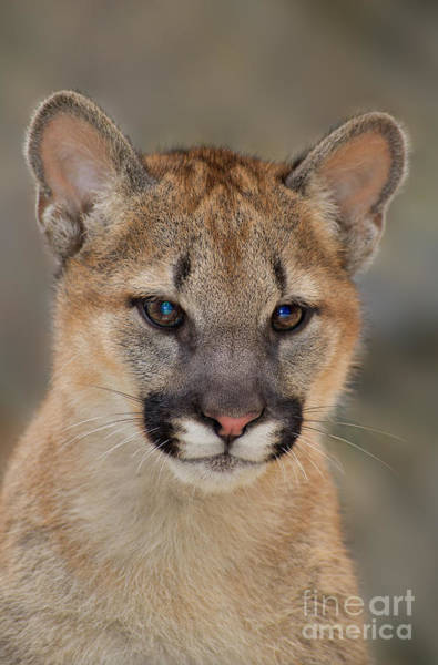 Photograph - Mountain Lion Felis Concolor Captive Wildlife Rescue by Dave Welling
