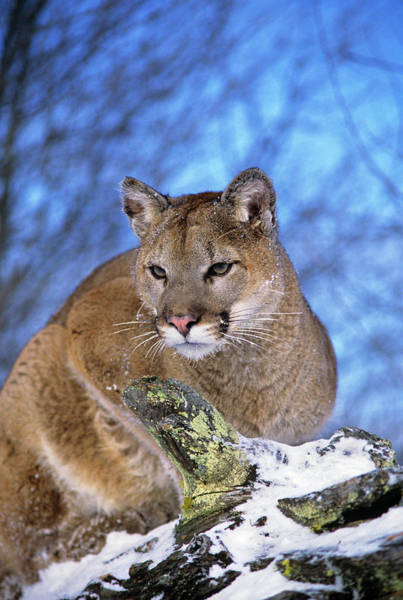 Puma Photograph - Mountain Lion Felis Concolor North by Animal Images