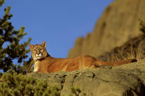 Puma Photograph - Mountain Lion (felis Concolor by Richard and Susan Day