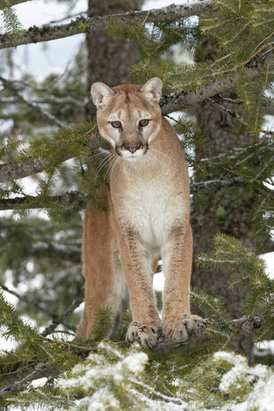 Puma Photograph - Mountain Lion In Mid Air Jumping by Adam Jones