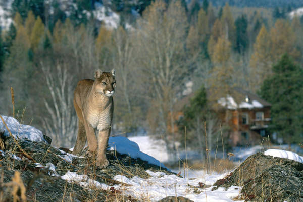 Catamount Photograph - Mountain Lion In Montana by Jeffrey Lepore