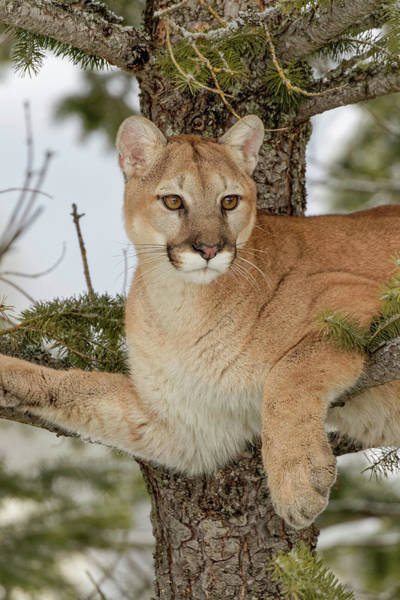 Puma Photograph - Mountain Lion In Tree, Montana by Adam Jones