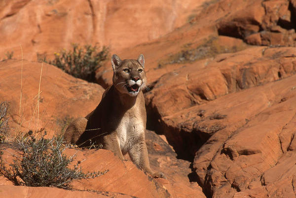 Catamount Photograph - Mountain Lion In Utah by Jeffrey Lepore