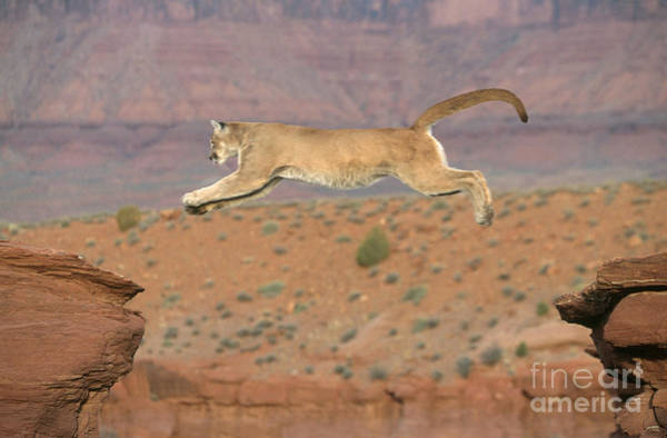 Big Sandy Photograph - Mountain Lion Leaping by Alan and Sandy Carey