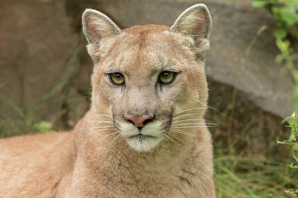 Puma Photograph - Mountain Lion, Puma Concolor, Minnesota by Adam Jones