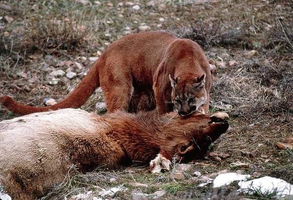 Puma Photograph - Mountain Lion With A Kill by William Ervin/science Photo Library